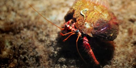 Hermit Crab (3431)