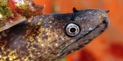 Moray eel (5584)