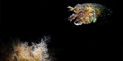 Cuttlefish (8556)